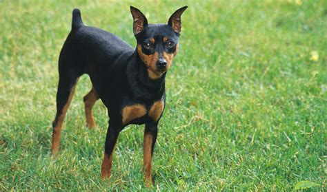 do miniature doberman pinschers shed miniature pinscher breed information