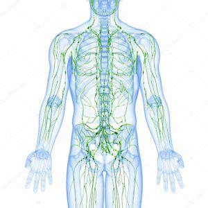 vasi linfatici gambe il sistema linfatico la chirurgia plastica