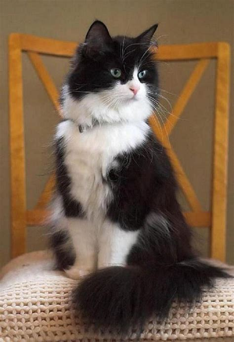 black and white cat black and white cat animalsss pinterest