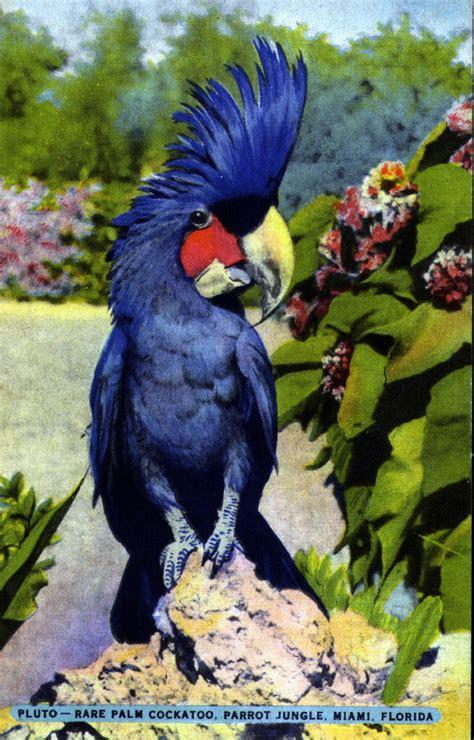 florida memory pluto rare palm cockatoo