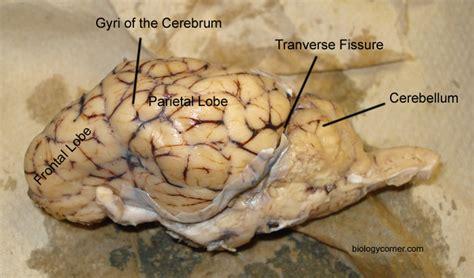 sheep brain anatomy diagram sheep brain dissection labeled diagram www pixshark