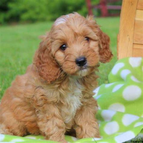Cockapoo Puppies For Sale  Cockapoo Breed Info
