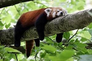 red #panda | Amazing Animals | Pinterest | Spring ...