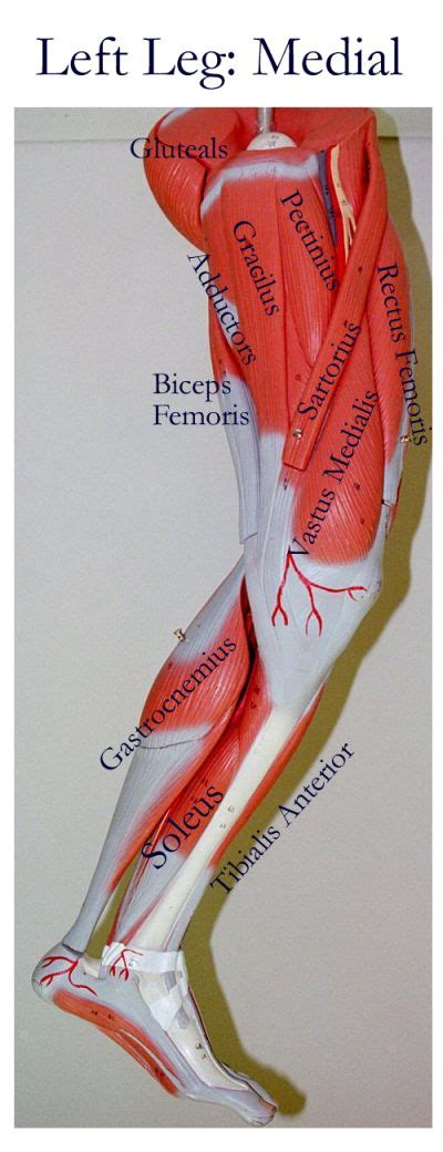 Human muscle system, the muscles of the human body that work the skeletal system, that are under voluntary control, and that are concerned with movement, posture, and balance. 1412 best Treatments images on Pinterest | Healthy living ...