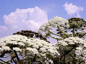 """""""It's a dangerous plant"""": Invasive hogweed has found its ..."""