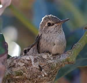 Baby Hummingbird Flickr