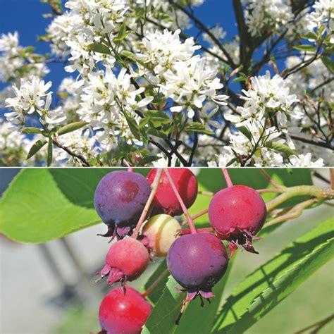 Garten Kaufen Kernen felsenbirnen kernobst in der fruchtkorb