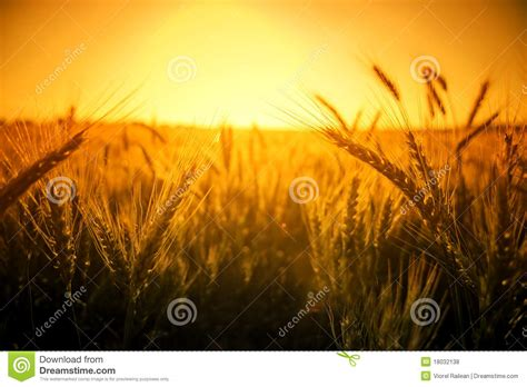 Background Crop Wheat Crop Background With Yellow Copy Space Royalty Free