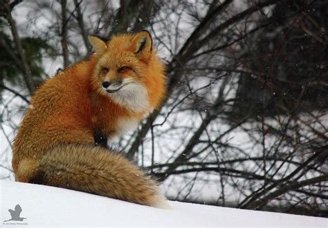 1000+ Ideas About Fox Tails On Pinterest