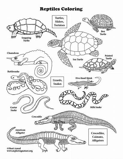 Reptiles Coloring America North Pdf Graphics