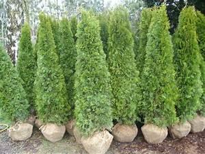 Kleine Bäume Bis 3m : smaragdthujen ab 2 zierb ume bis 4 m zustellung gratis ~ Articles-book.com Haus und Dekorationen