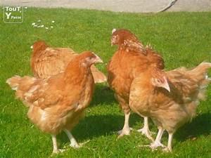 Poule Pondeuse Race : poules pondeuses haute normandie ~ Dallasstarsshop.com Idées de Décoration
