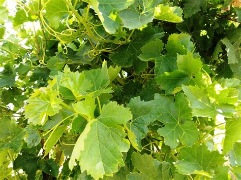 Picking and preserving grape leaves   Food Heritage Foundation