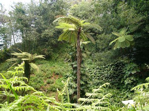 australian tree fern cyathea cooperi wikipedia