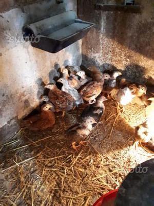 vendo animali da cortile vendo animali da cortile e mangimi posot class