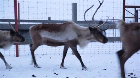 reindeer real    youtube