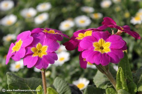 picture flower primula picture flower pictures 5537