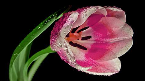 hd hintergrundbilder tropfen nass bluetenblaetter tulpe