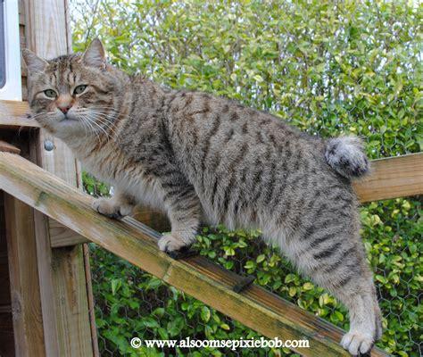 Pixie Bob Cats: QGC RainDance Of Alsoomse all grown up