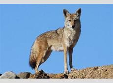 Coyote America – KCRW Events