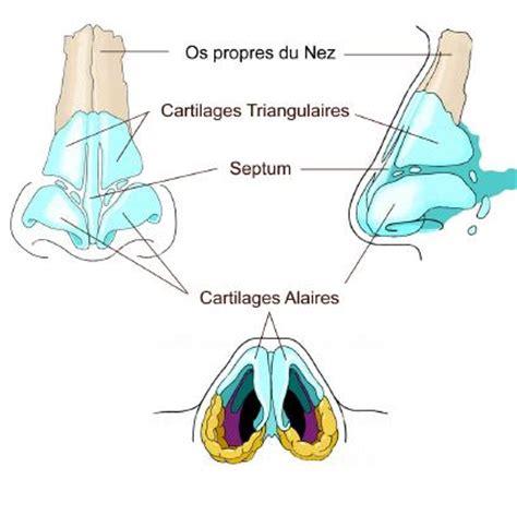 anatomie fonctionnement du nez et des sinus orl nc