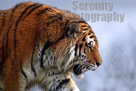 information  facts  tigers habitatpopulations