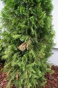 Koniferen Werden Braun : zypressen und thuja smaragd werden braun tipps und ~ Lizthompson.info Haus und Dekorationen