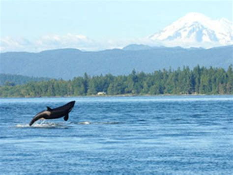 Whale Watching San Juan Islands