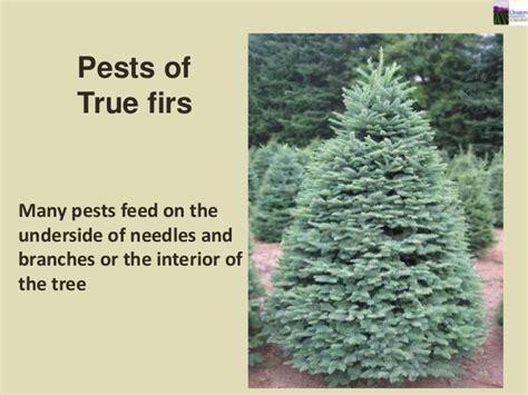 christmas tree pests 2013