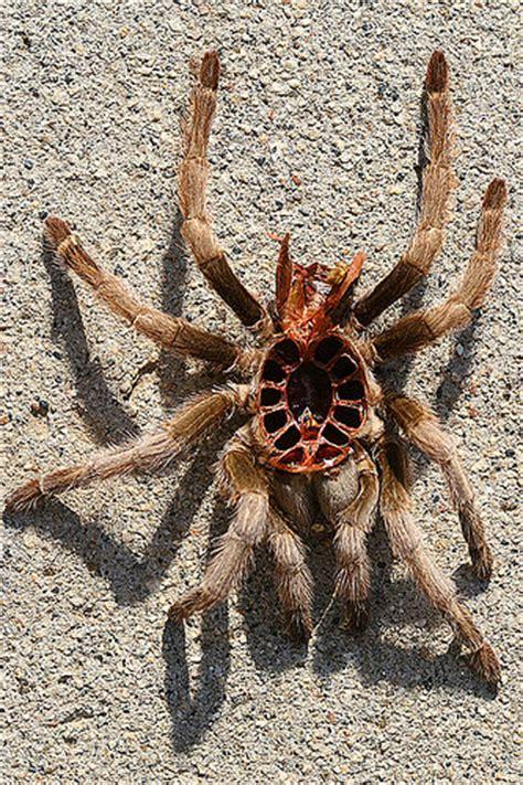 Do Tarantulas Shed Their Legs by Tarantula Molt Top Flickr Photo