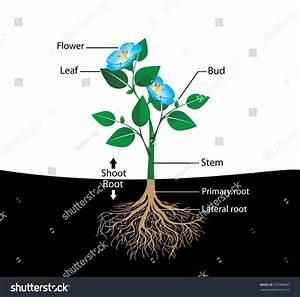 Structure Flower Vector Diagram Teaching Pupils Stock