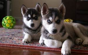 Cutest siberian husky puppy pictures and wallpapers ...