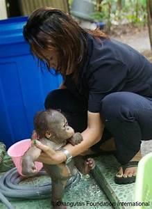 17 Best images about Orangutan Love on Pinterest   Orphan ...