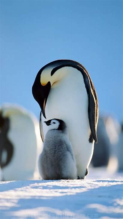 Penguin Iphone Wallpapers Penguins Emperor Animal 4k