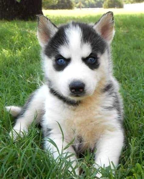 white german shepherd puppies  blue eyes photo happy