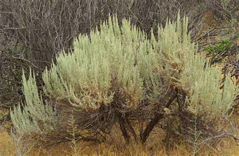 big sagebrush artemisia tridentata ssp tridentata