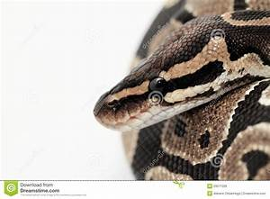 Ball Python Close Up Royalty Free Stock Image - Image ...