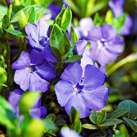 17 best ideas about vinca ground cover on grass alternative traditional lawn and