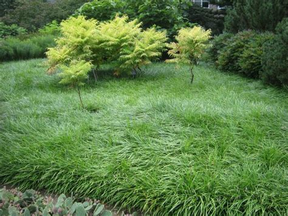 future plants  randy stewart liriope mondo grass