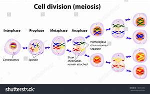 Meiosis Cell Division Diagram Stock Illustration 138353486