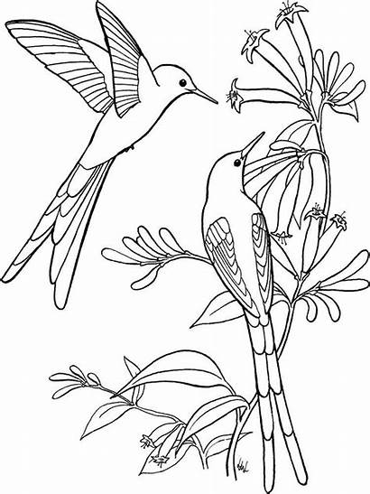Coloring Pages Hummingbird Birds Hummingbirds Printable Colors