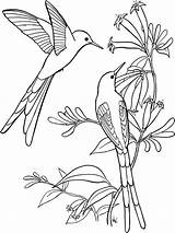 Coloring Hummingbird Swallow Tailed 78kb 1000px sketch template