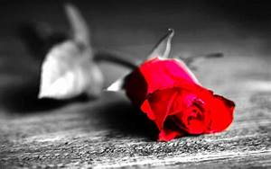 Red rose black and white background walls - New hd ...