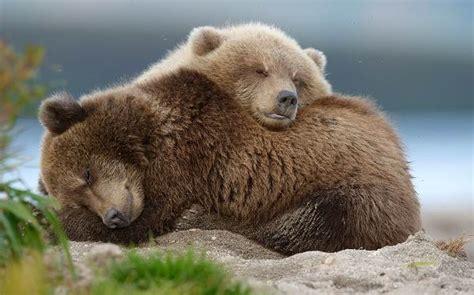 Бурый медведь Ursus arctos виды фото интересные факты
