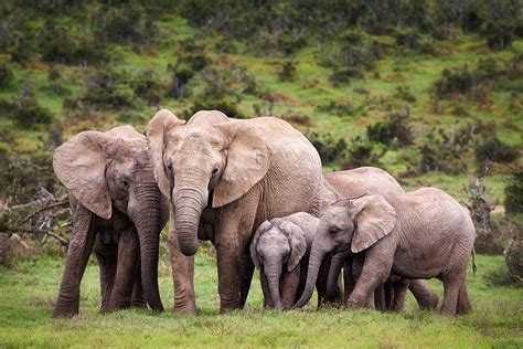 how can an elephant get republic of congo 171 elephants forever