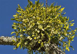 A Complete Guide To Growing Mistletoe   Love The Garden