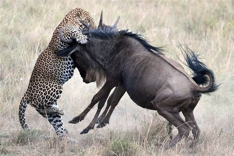 show dramatic fight   wildebeests