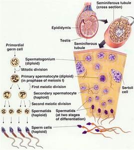 Spermatogenesis - Oogenesis