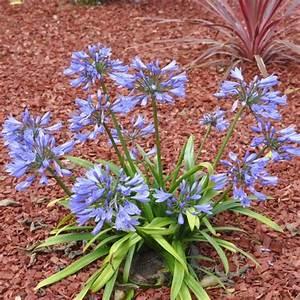 Graines D Agapanthe : agapanthe 39 petite bleue 39 plantes et jardins ~ Melissatoandfro.com Idées de Décoration