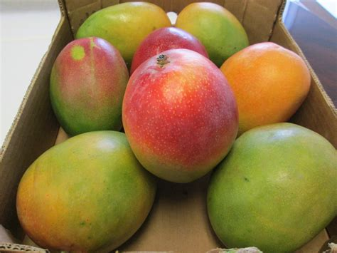 Fresh Kent Mangoes (9 Lbs)